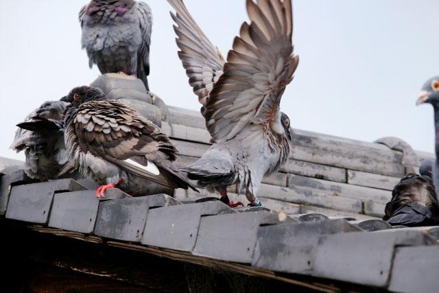 鳥による糞害は人体にとっても屋根にとっても深刻です